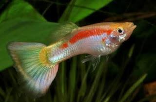 Jenis ikan guppy tuxedo