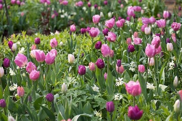 тюльпаны + нарциссы + герань