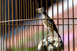 Burung Branjangan - Pakan Alternatif untuk Burung Branjangan Agar Makin Gacor