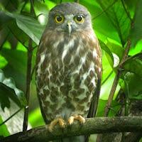 burung hantu brown hawk owl, jenis burung hantu yang relatif lebih susah dipelihara
