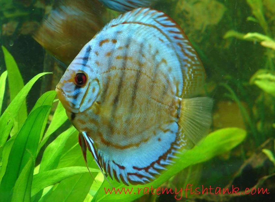 Discus - Jenis Jenis Ikan Hias Air Tawar Aquascape Paling Lengkap