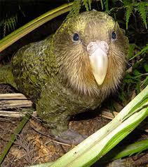 Kakapo Nedir?