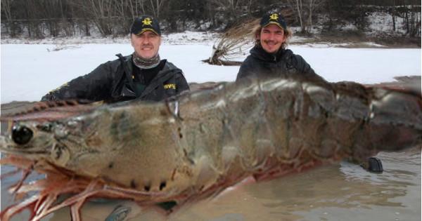 Pescadores canadenses capturaram um camarão-ártico com mais de 2,80 metros e pesando mais de 145 kg, o maior crustáceo deste tipo capturado até então