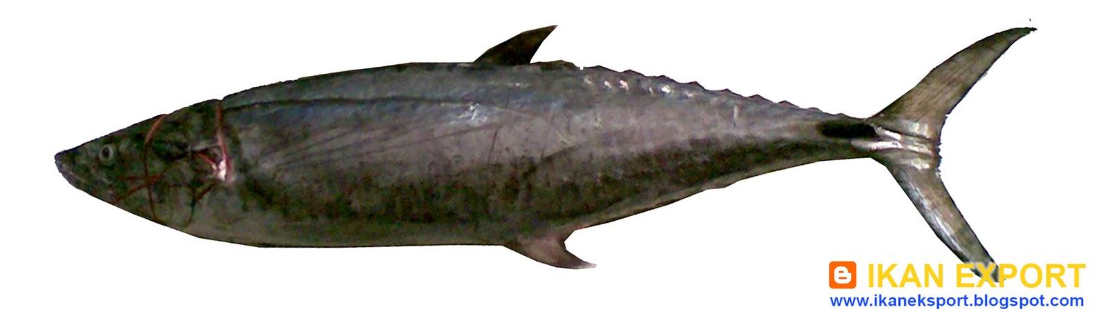 TENGGIRI+ +TINUMBU+ +SARDEN+MACKEREL+FISH