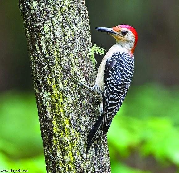هل تعلم لماذا ينقر طائر نقار الخشب الاشجار ؟