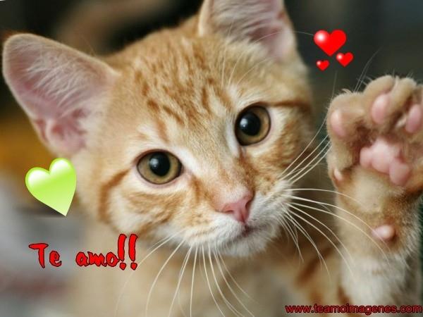 Imágenes de gatitos bonitos con la frases te quiero para facebook