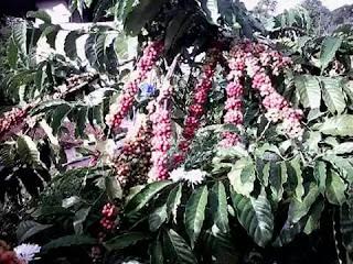 pupuk organik penyubur tanaman kopi,cara memupuk kopi, dosis pupuk kopi, obat penyubur kopi, penyubur tanaman kopi, pupuk kopi, pupuk penyubur kopi, pupuk penyubur tanaman kopi, jenis pupuk kopi, budidaya tanaman kopi,