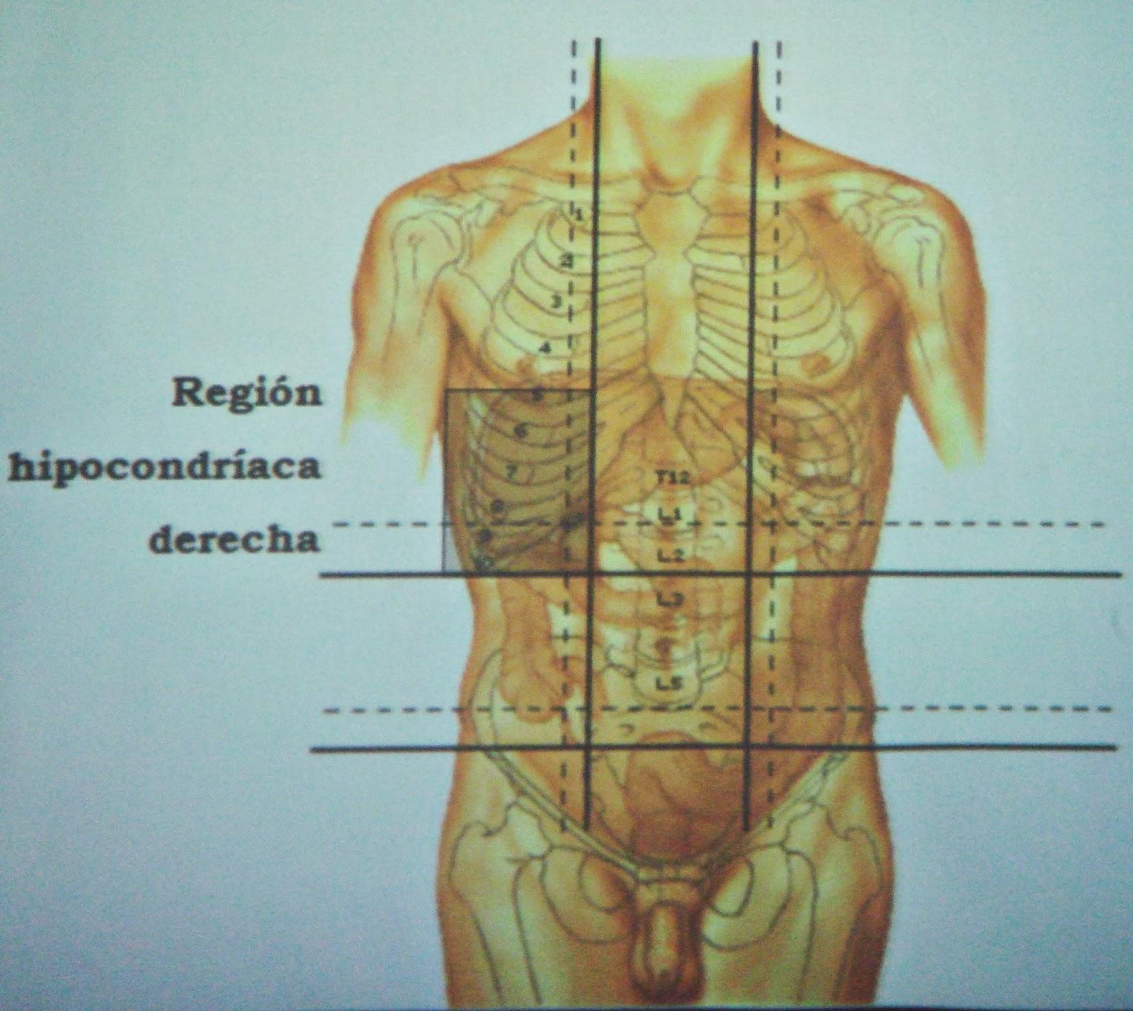 Paredes y músculos abdominales. Regiones del abdomen