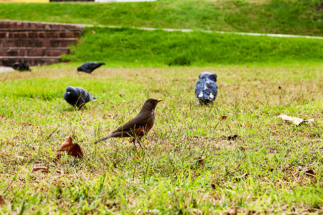 Grupo de palomas comiendo en el césped y un hornero vigila.