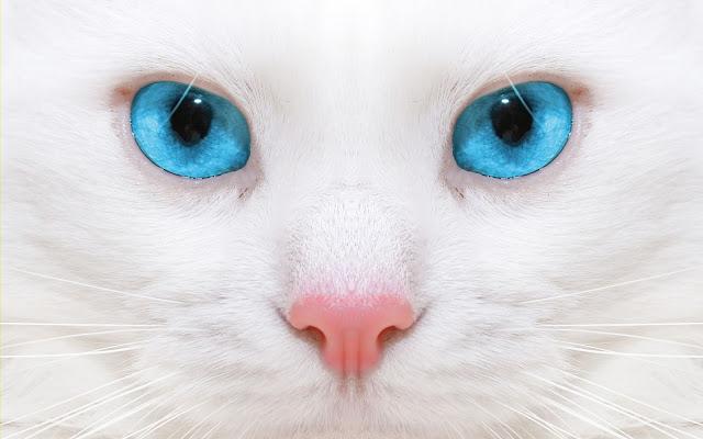 Witte kat met mooie blauwe ogen