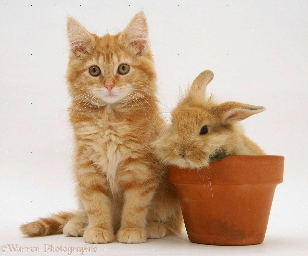 Download 93+  Gambar Kucing Anggora Paling Lucu Paling Keren
