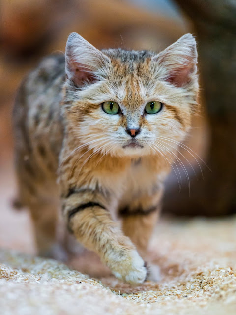 Sand cat walking towards me by Tambako the Jaguar from flickr (CC-ND)