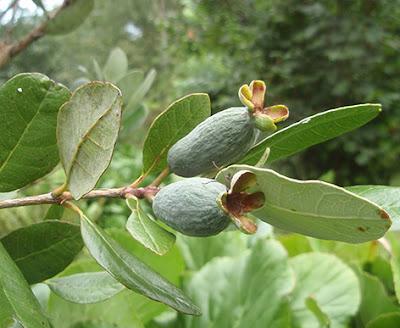 Fruto de la Feijoa sellowiana