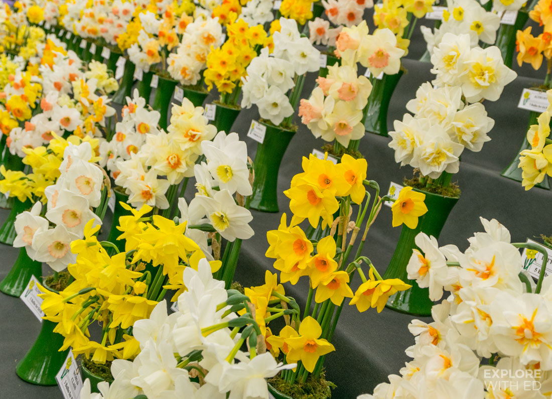 Varieties of Daffodils