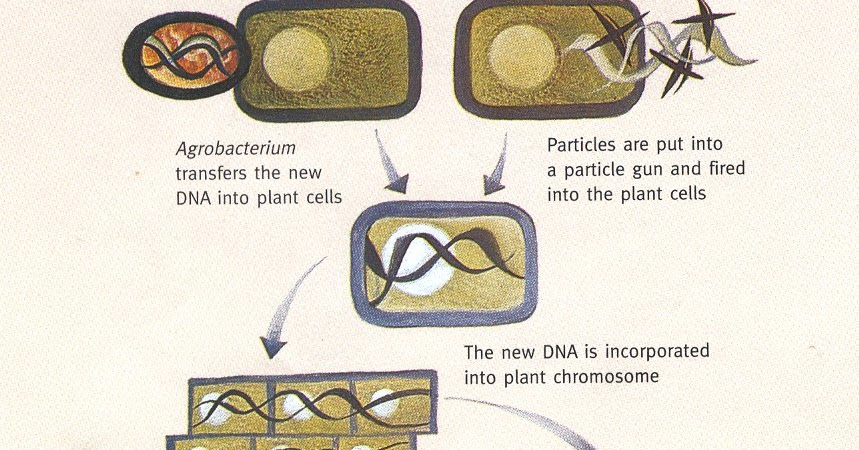 diagram of how gmos are made what are gmo s how are gmo s made #5