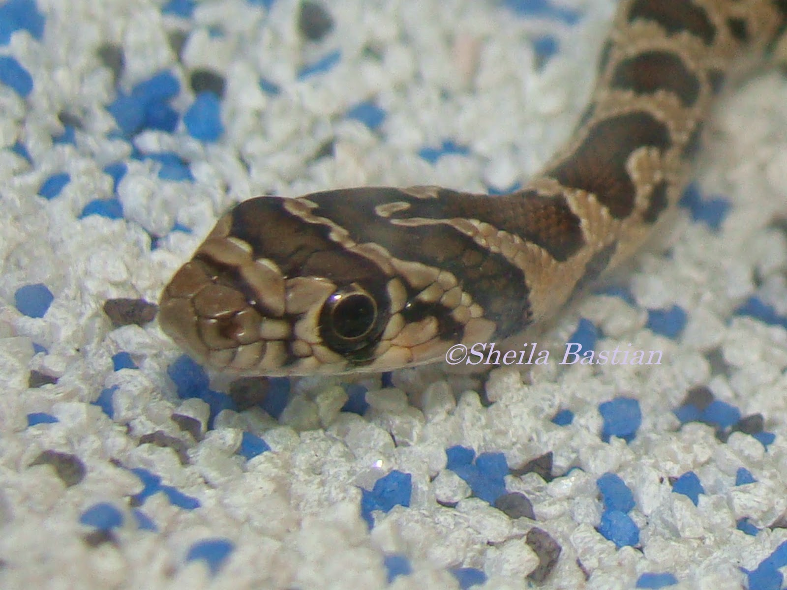 Science Magazine Another Horse Shoe Whip Snake In The Class