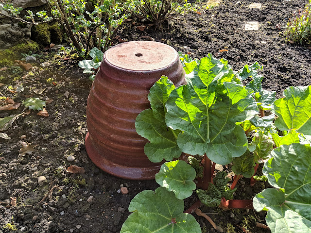 Forced Rhubarb pot
