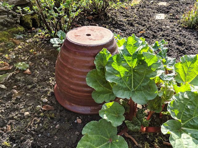 Forced Rhubarb pot