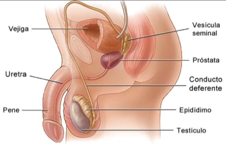 Anatomía y Fisiología Humana: Aparato Reproductor Masculino