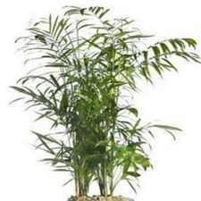 Bamboo Palm Chamaedorea seifrizii air filtering plant