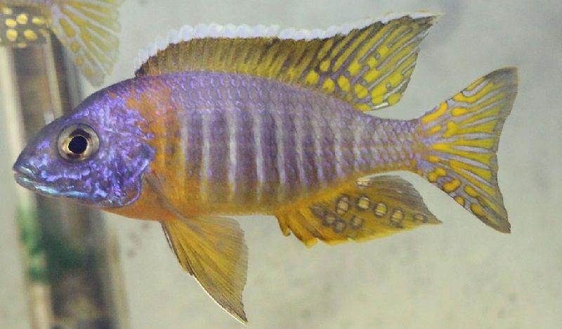 Gambar 5 Ikan cichlid Afrika - Aulonocara blue gold ( Aulonocara korneliae )