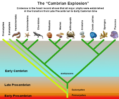 the importance of the cambrian explosion in the history of human life on earth Around 550 million to 540 million years ago, there was a remarkable explosion in the diversity and complexity of animal life on earth.