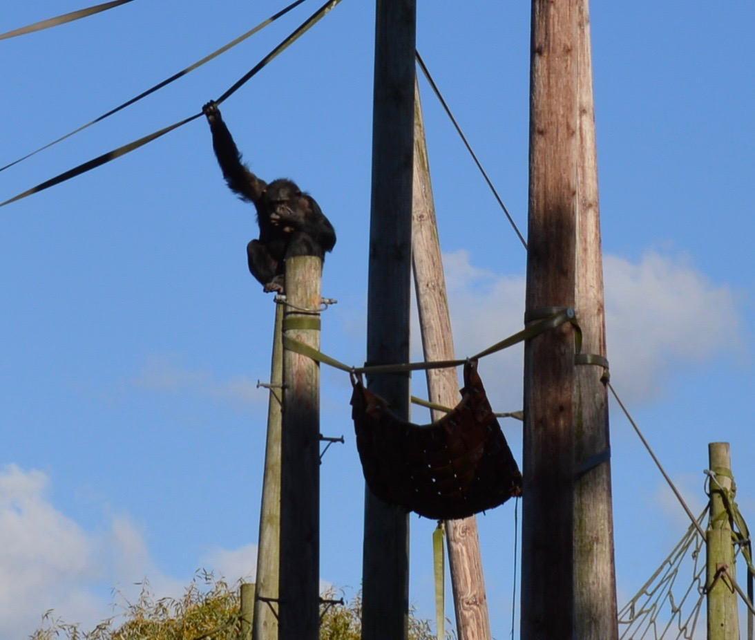 Tips for Visiting Chester Zoo from Newcastle - Chimp climbing