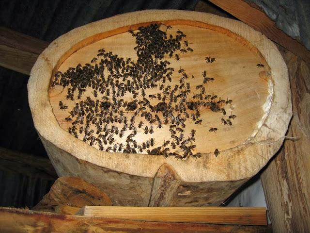 macahel kraliçe arı