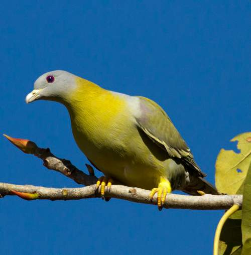 Indian birds - Picture of Yellow-footed green pigeon - Treron phoenicopterus