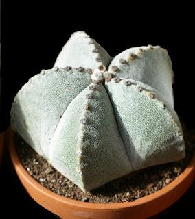 Cactus mitre d'évêque - Astrophytum myriostigma