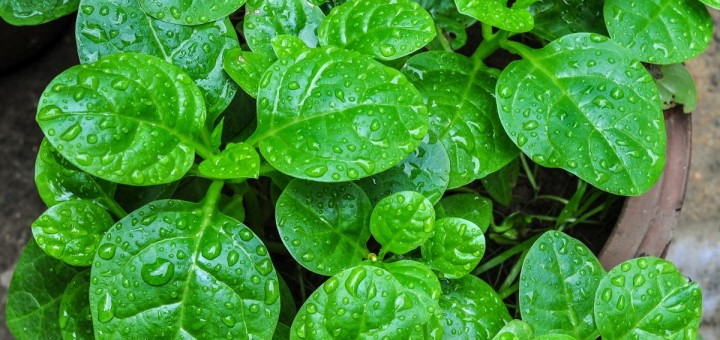 Efficacious Binahong leaf for cuts Affairs and In, How to Make Herb Leaves Binahong To Heart