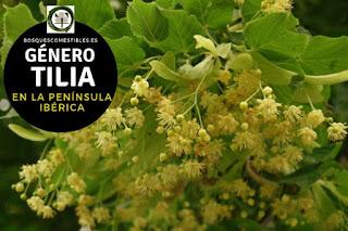 El Género Tilia: los Tilos, arboles caducifolios robustos que pueden llegar a medir hasta 30 m de altura;