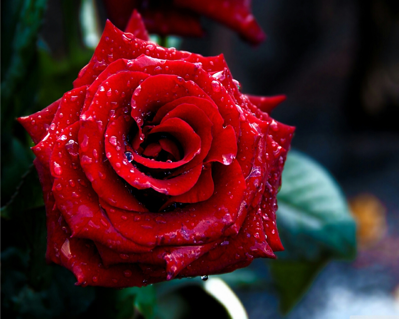Flowers for flower lovers flowers wallpapers red roses - Red rose flower hd images ...