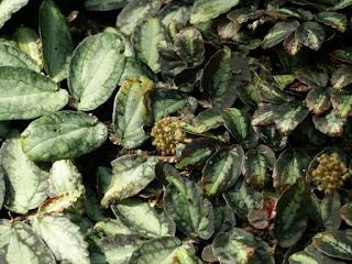 Pellionia de Daveau - Pellionia repens