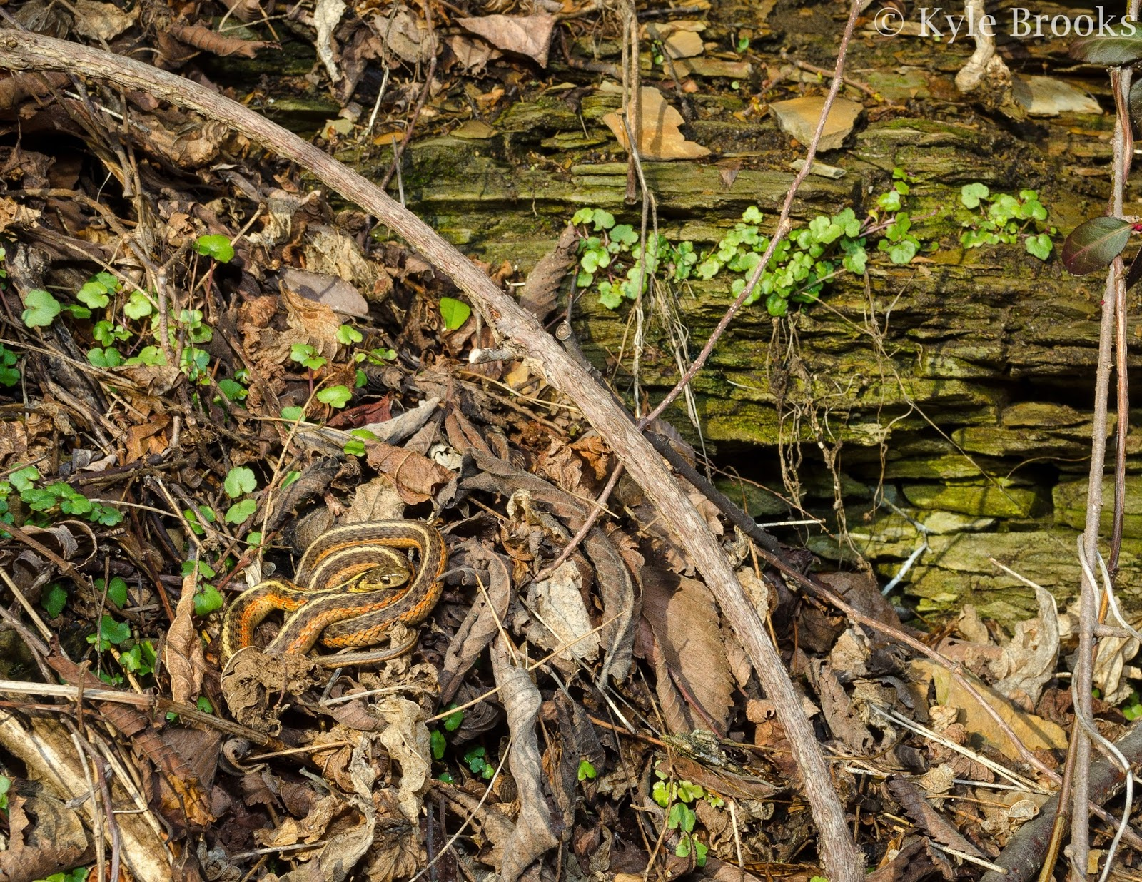 Eastern Gartersnake Ohio