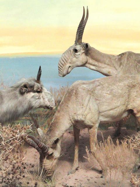 Saiga antelopes much more flexible than originally thought