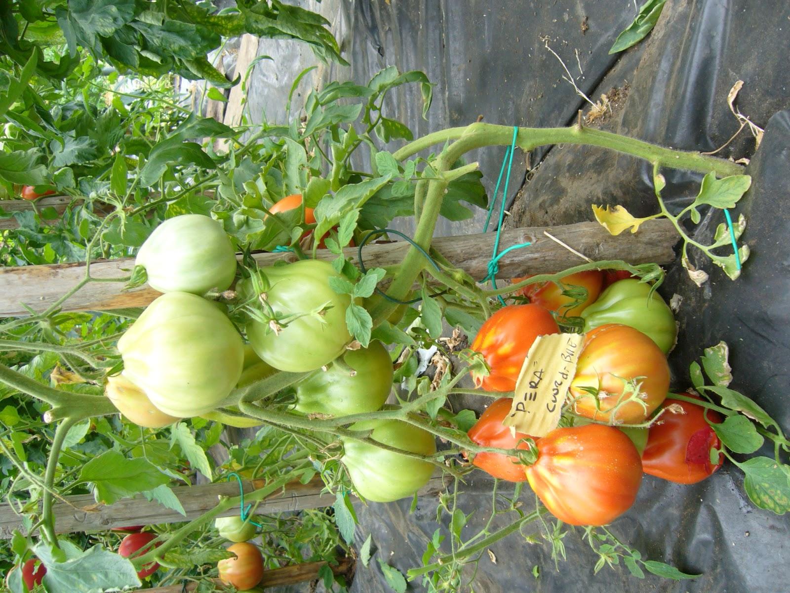 Gruppo coltivare condividendo gironzolando nell 39 orto for Piantare pomodori