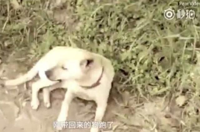 Inilah anjing yang menyelamatkan seorang bayi yang dikubur hidup-hidup.(Pear Video/Telegraph)