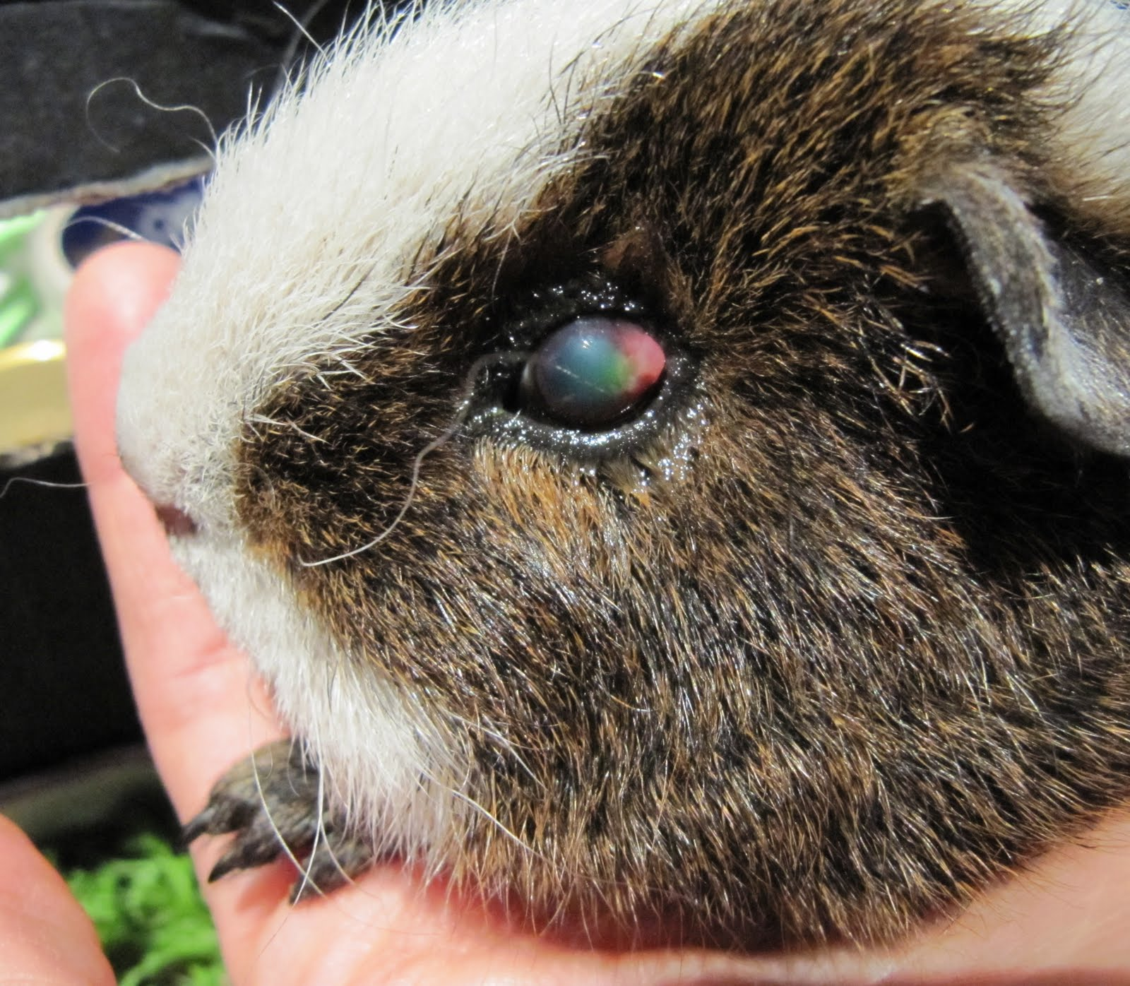 All Things Guinea Pig: We're Back From The Vet