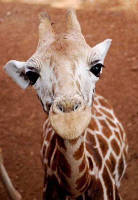 Muthu Cute Baby Giraffes