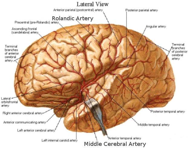 Science, Natural Phenomena & Medicine: Rolandic Artery