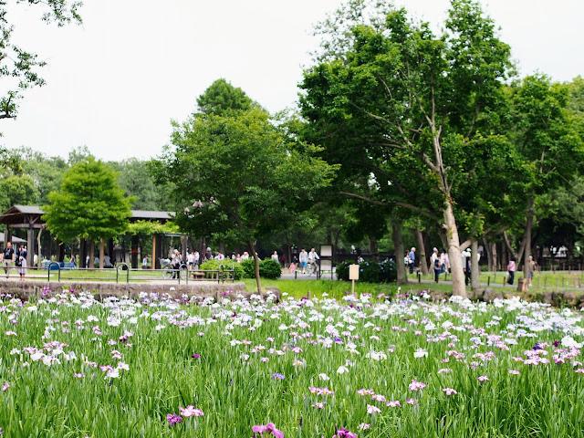 水元公園 ハナショウブ