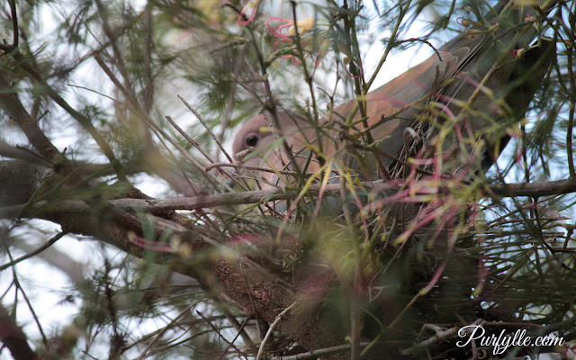 Laughing Turtle Dove