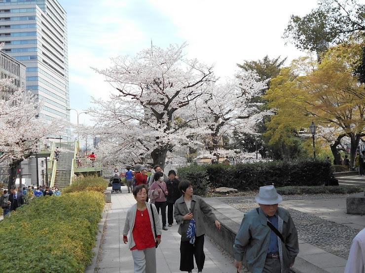 千鳥が淵の桜3