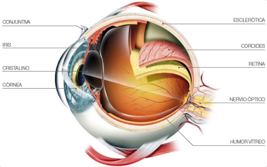 Anatomia Aplicada: EL OJO