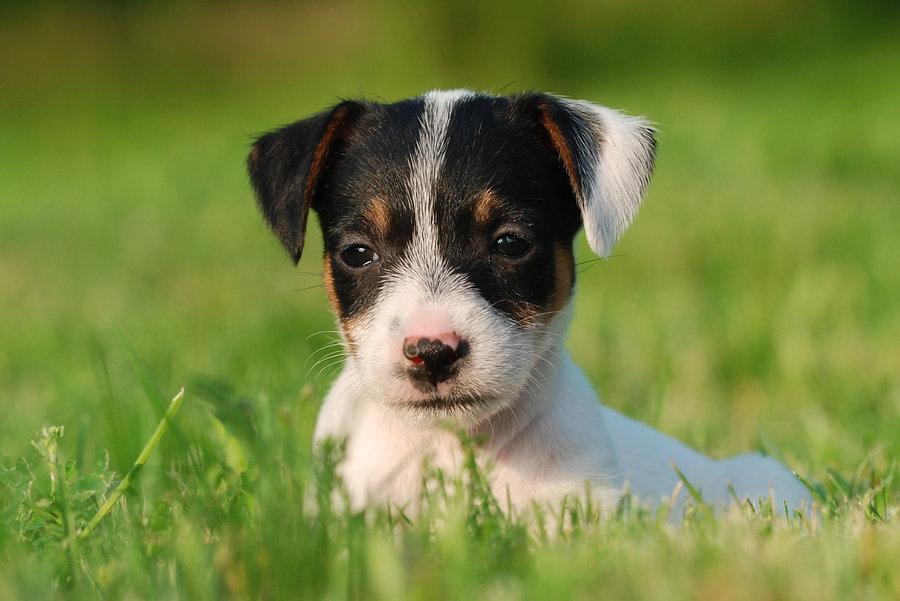 viziunea jack russell terrier)