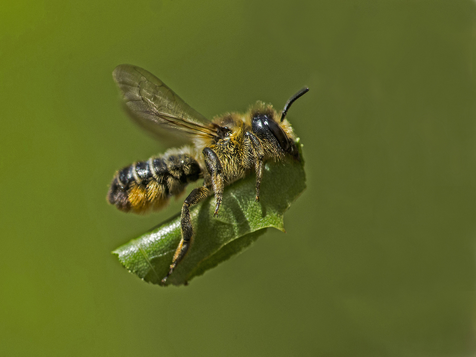 Leaf_Cutter_Bee%255B1%255D.jpg