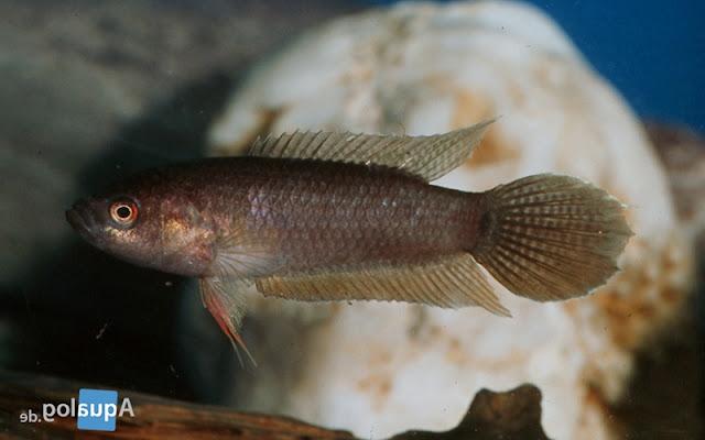 Pseudosphromenus Cupanus - Spiketail Paradisefish