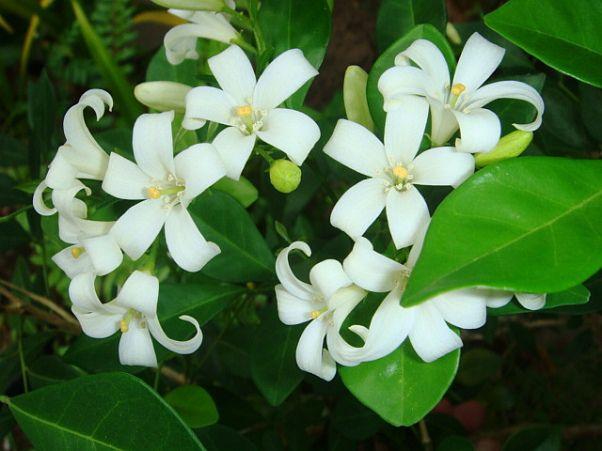 Cerbung Bunga Kemuning Bagian 3