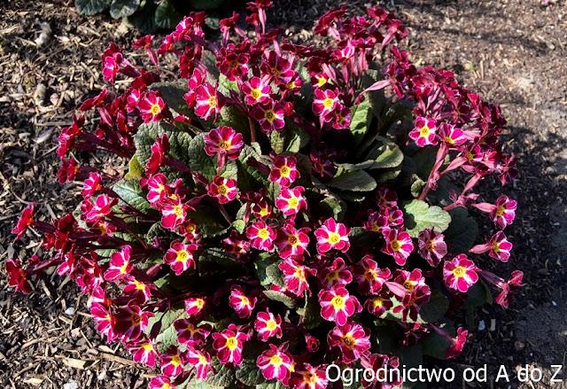 Primula 'Dark Rosaleen'